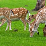 Gostišče jelenov Greben