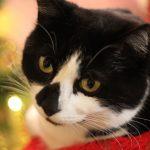 Mačji božič